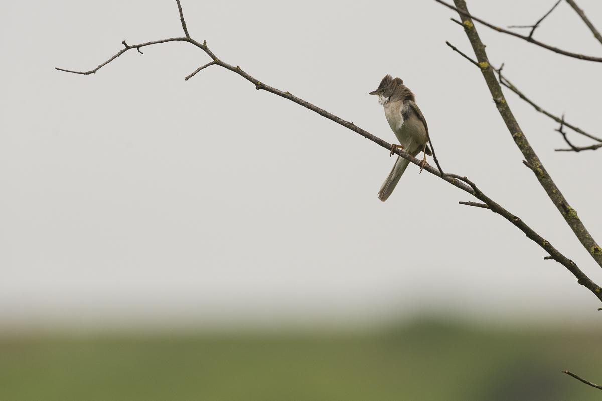Fauvette grisette au repos sur une branche luttant contre le vent