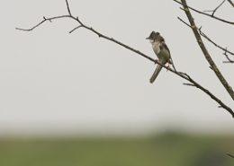 Fauvette grisette sur une branche luttant contre le vent fort