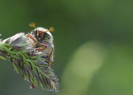 Hanneton commun posé sur une herbe photo prise en macro