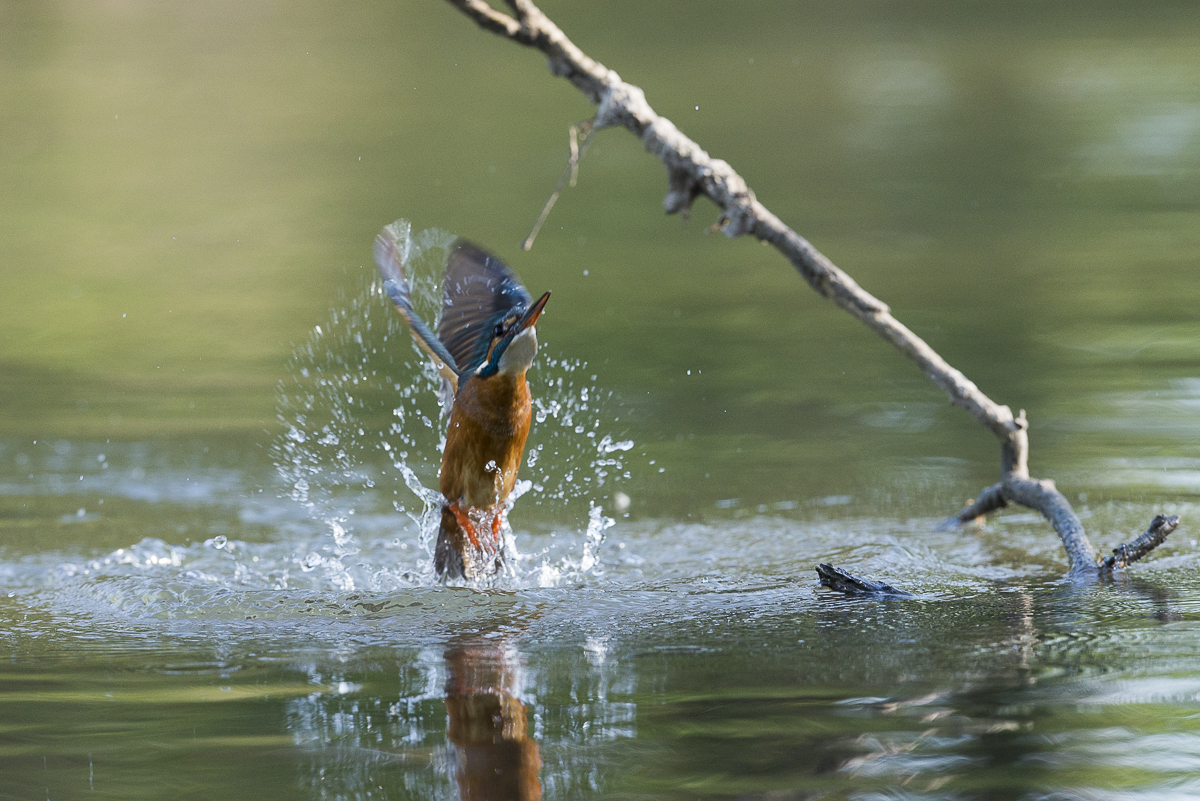 Martin pêcheur à sa sortie de l'eau