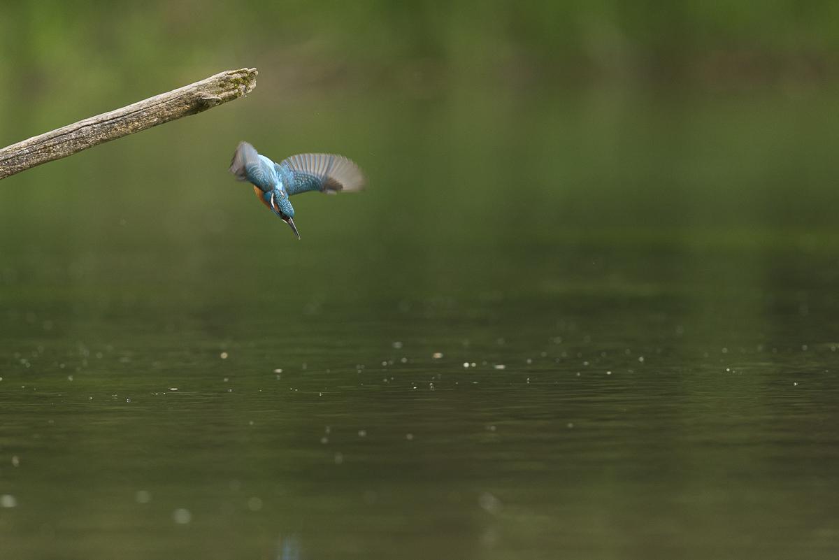 Martin pêcheur en plongeon