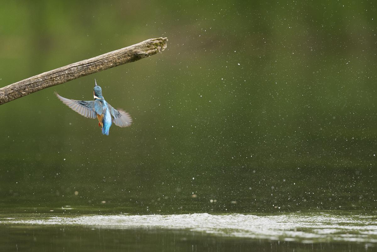 Martin pêcheur en vol à la sortie de l'eau
