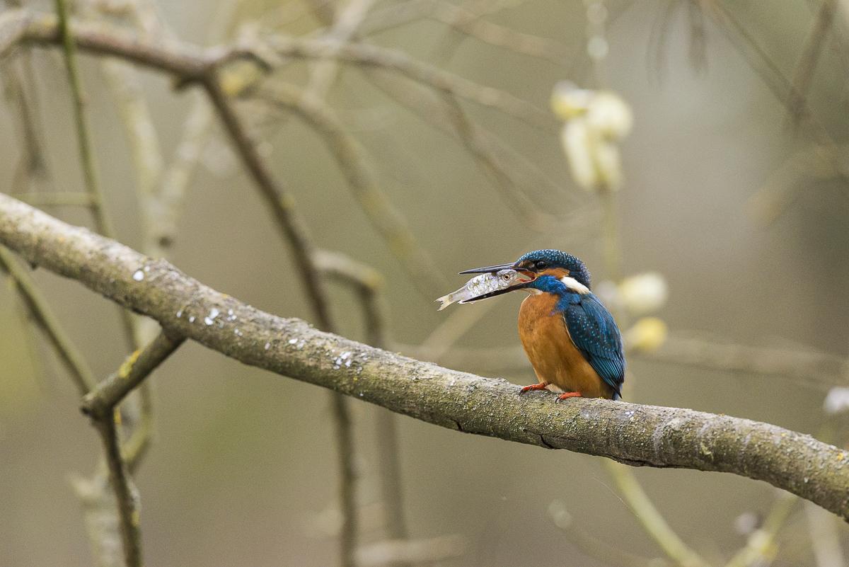 Martin pêcheur sur une branche avec un poisson dans le bec