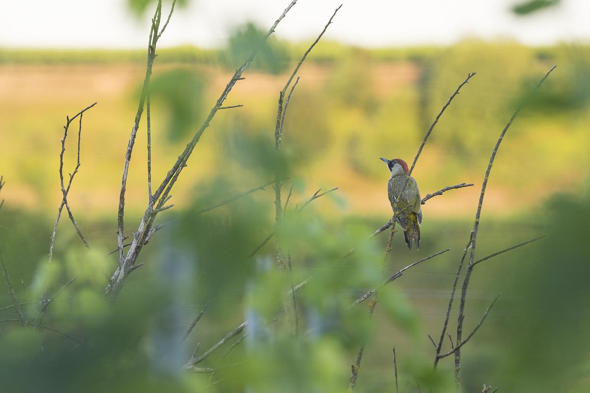 Juillet 2015 Pic vert posé sur une branche observe la vallée