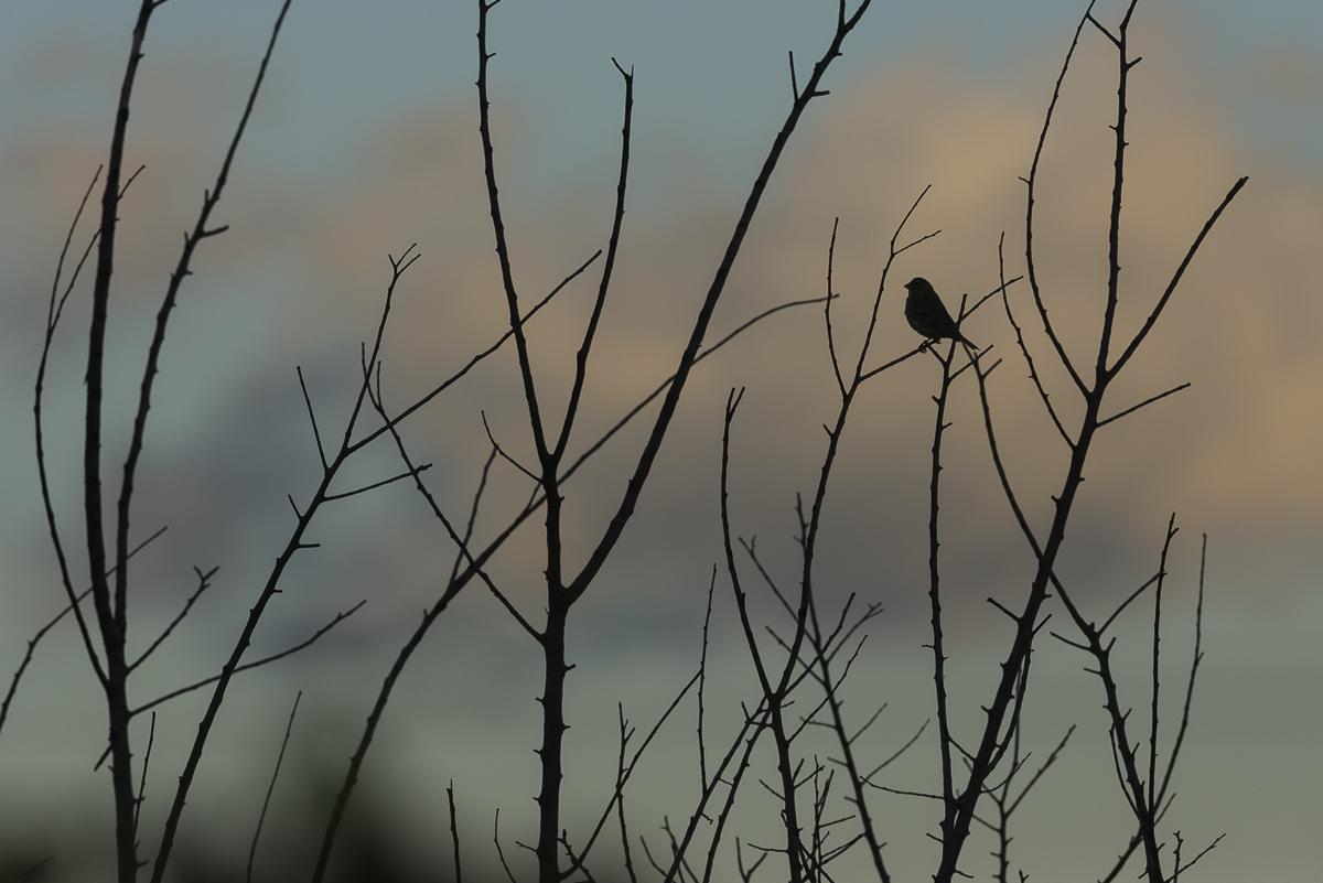 Serin cini dans les branches à l'aube