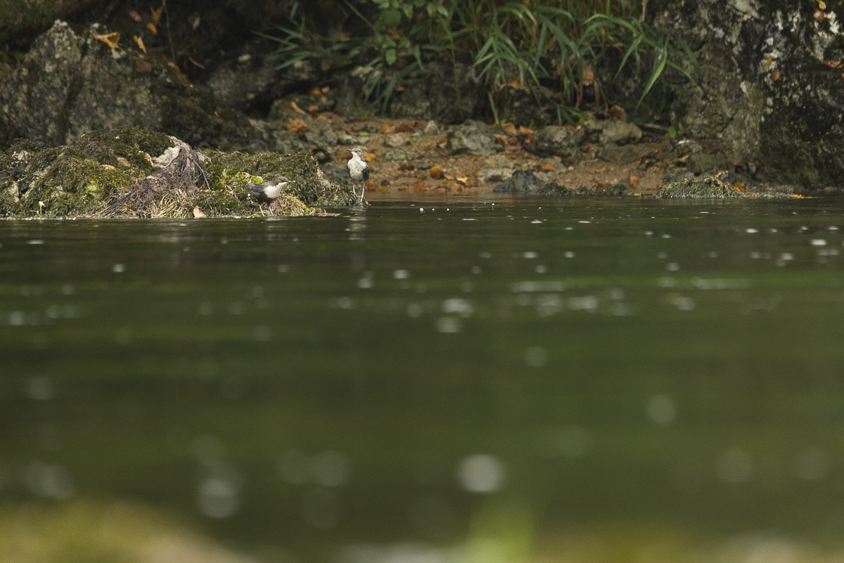 Cincle plongeur , un couple sur un rocher en bord de rivière