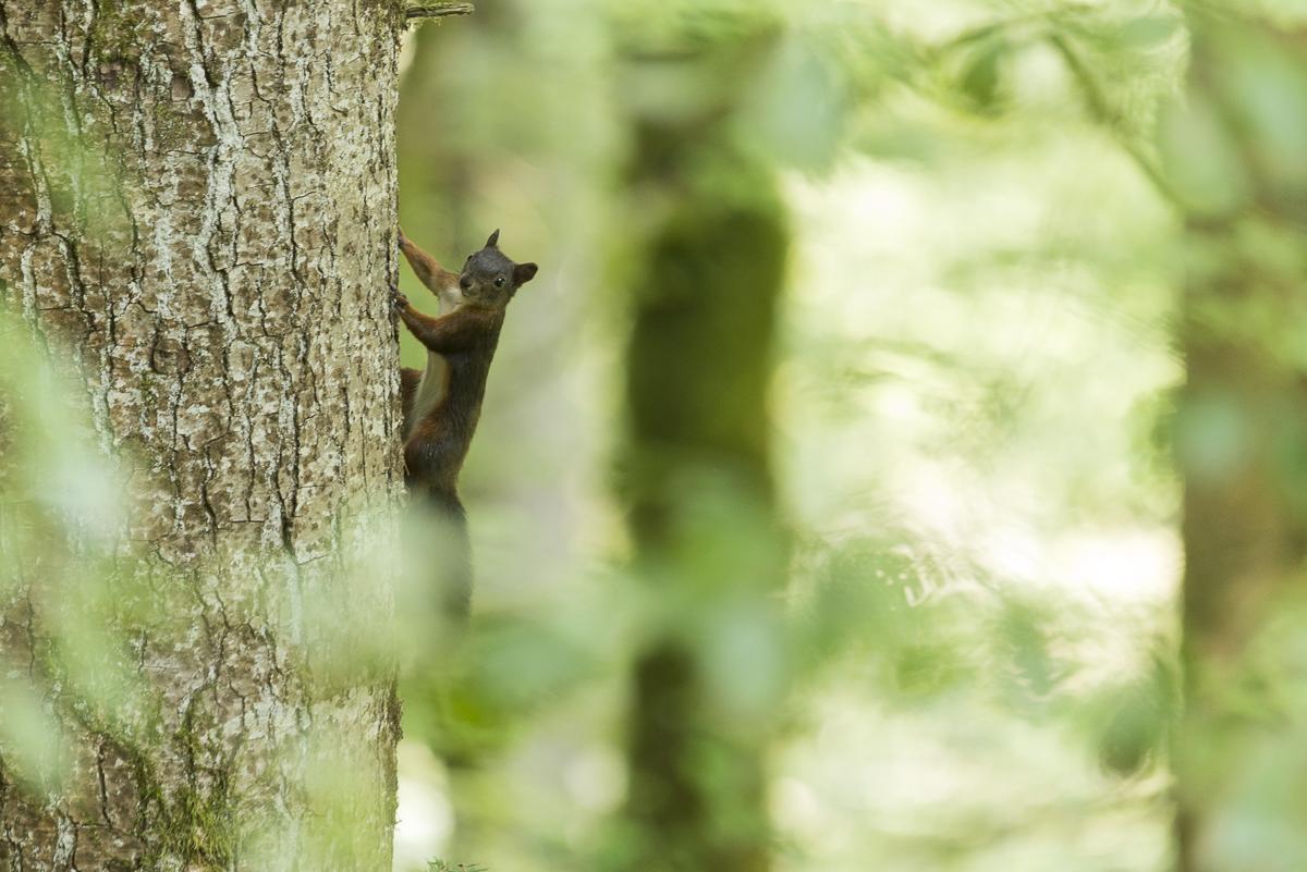 Ecureuil roux sur un tronc en sous bois