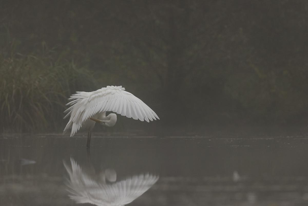Grande aigrette se nettoie le plumage dans la brume matinale