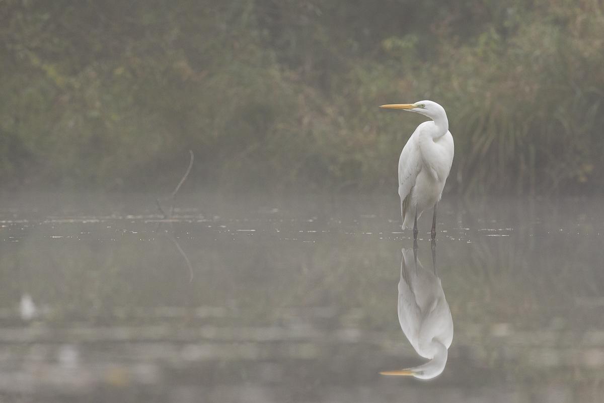 Grande aigrette sur un plan d'eau dans la brume