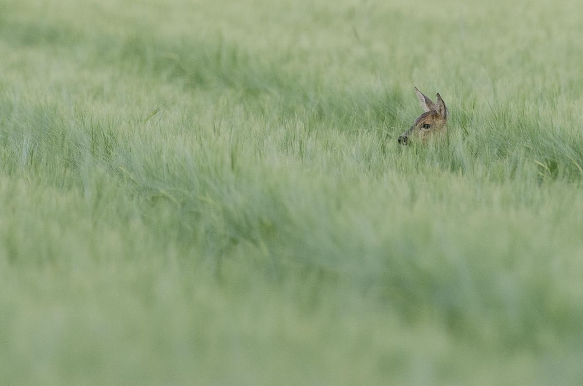 Chevreuil européen couché dans les herbes hautes