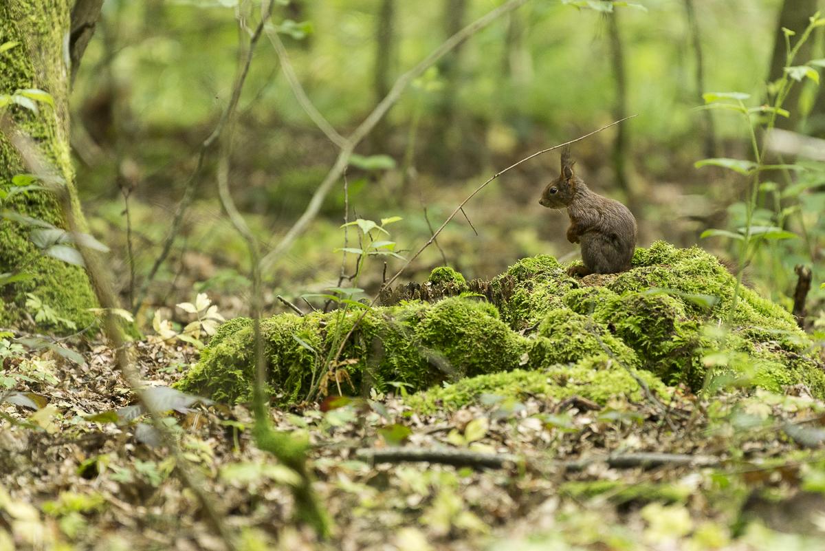 Ecureuil roux assis sur une souche en sous bois