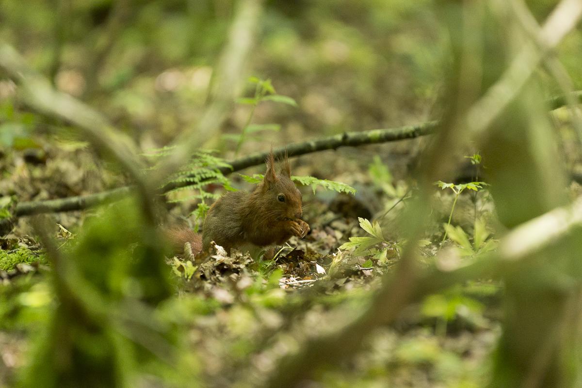 Ecureuil roux se nourrit au sol