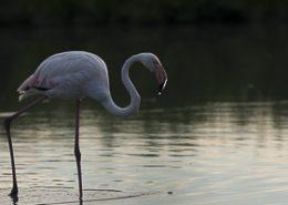 Flamant rose au coucher du soleil une goutte sur le bec