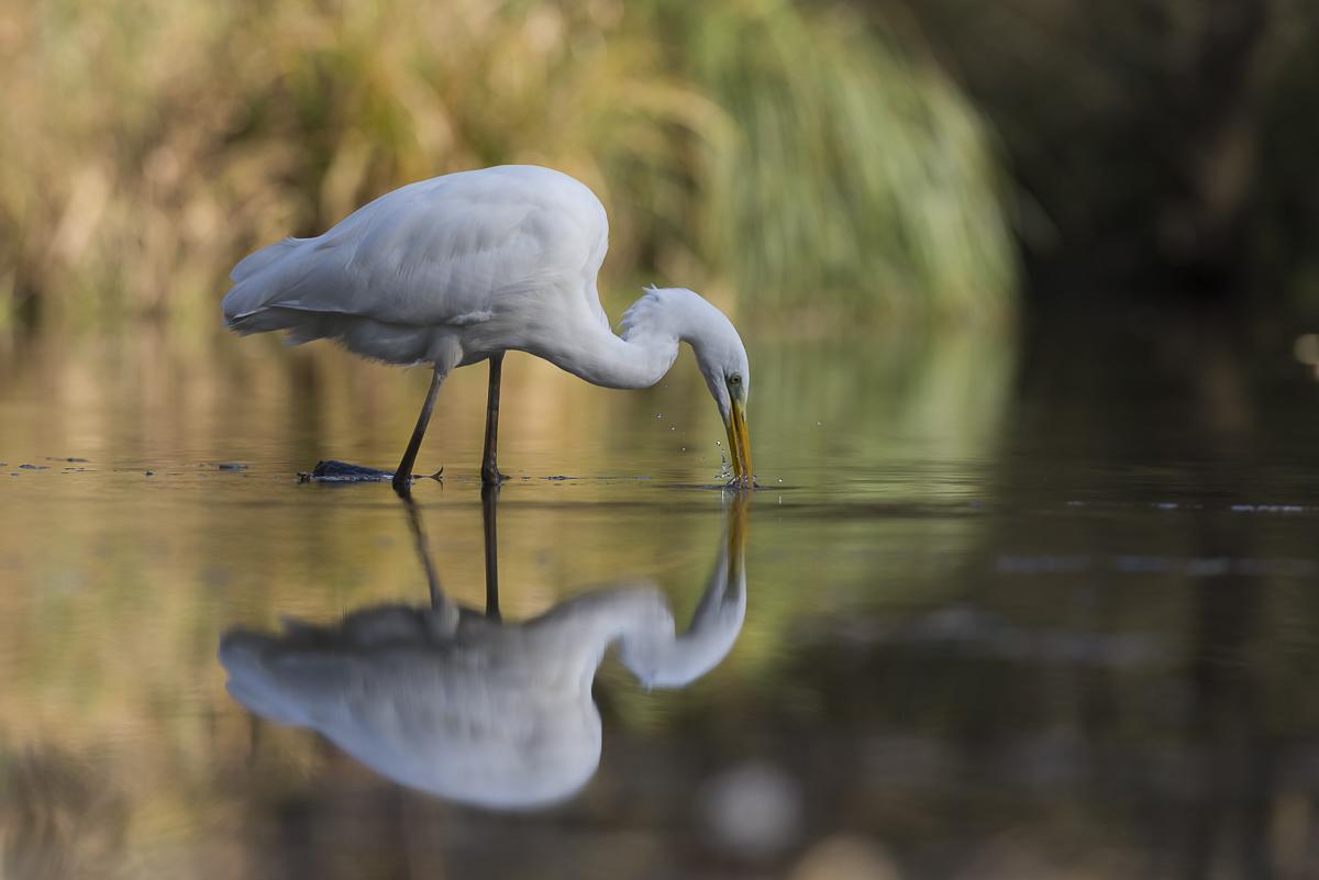 Grande aigrette et son reflet le bec dans l'eau