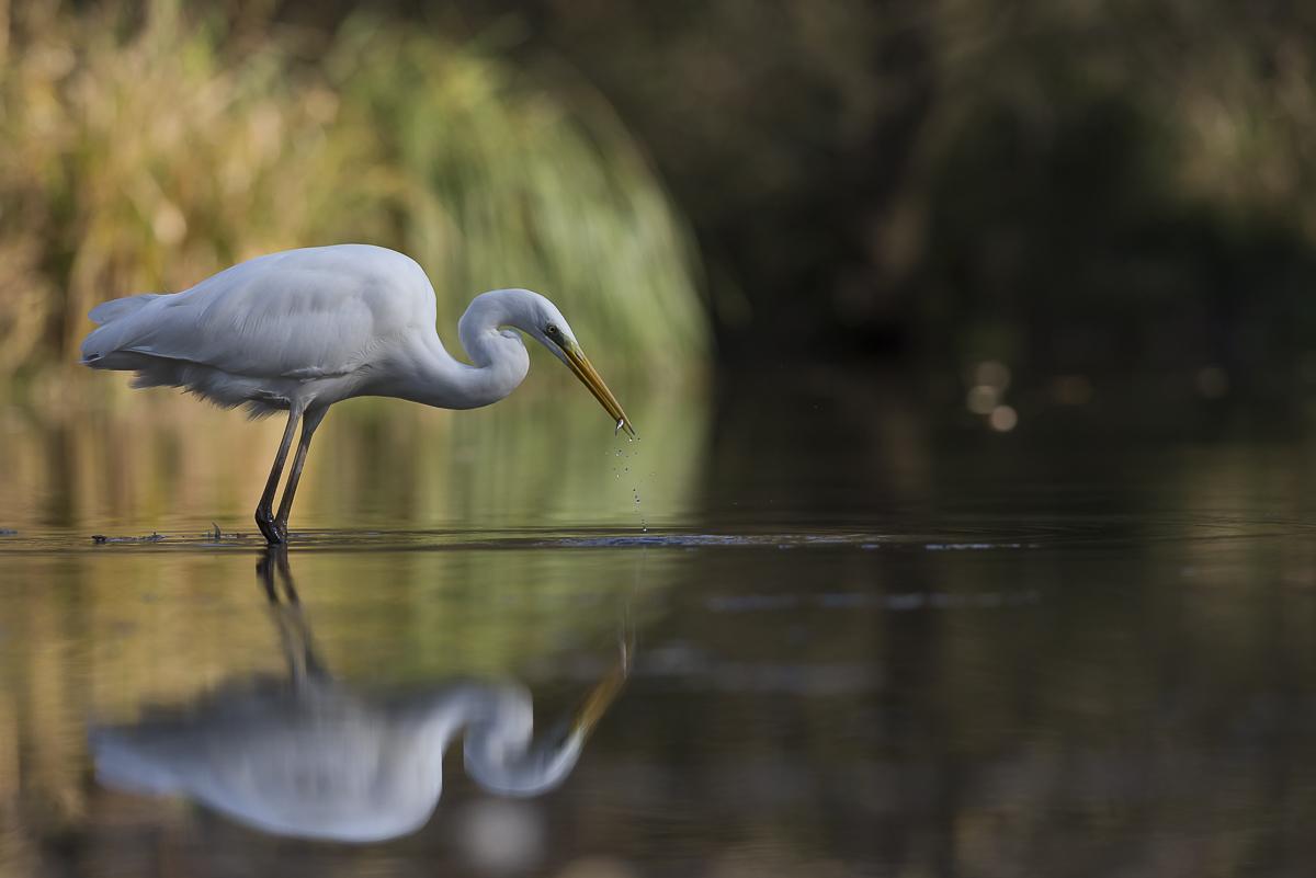 Grande aigrette et son reflet à la pêche