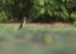 Héron vert apparait derrière une bute d'herbe