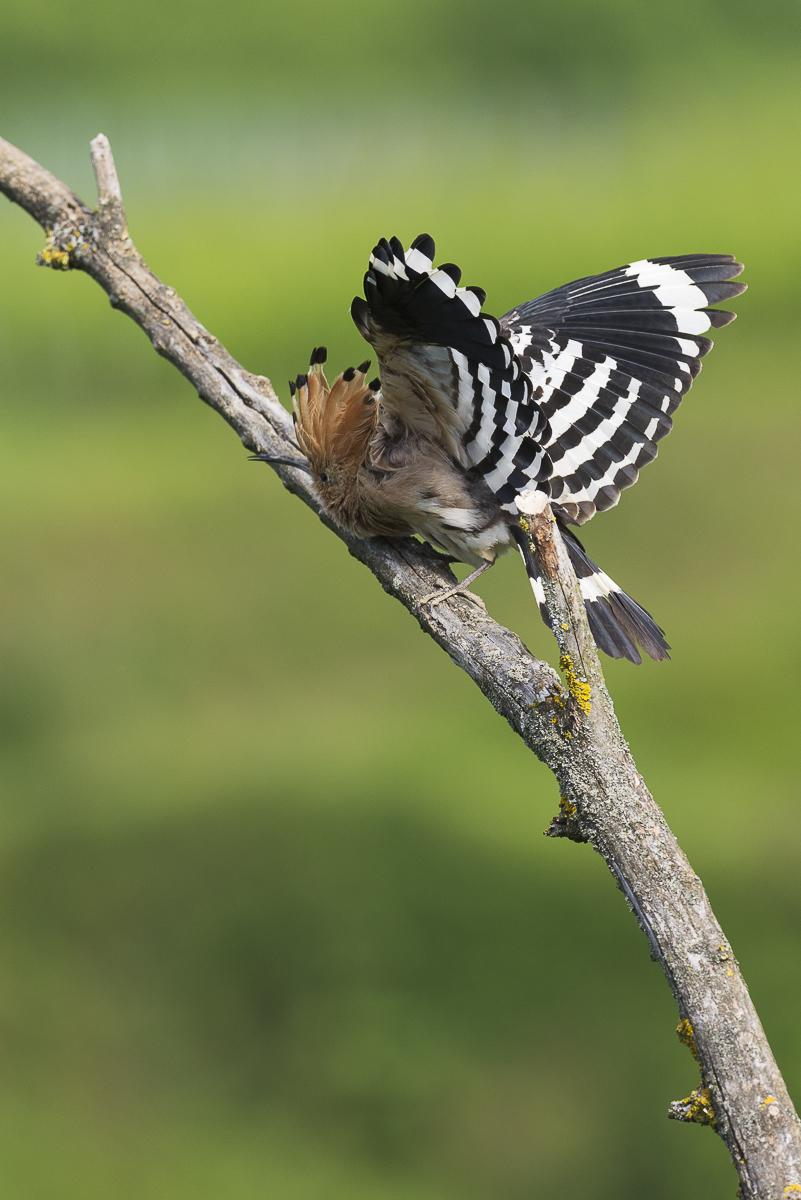 Huppe fasciée se frottant le poitrail sur une branche les ailes déployées