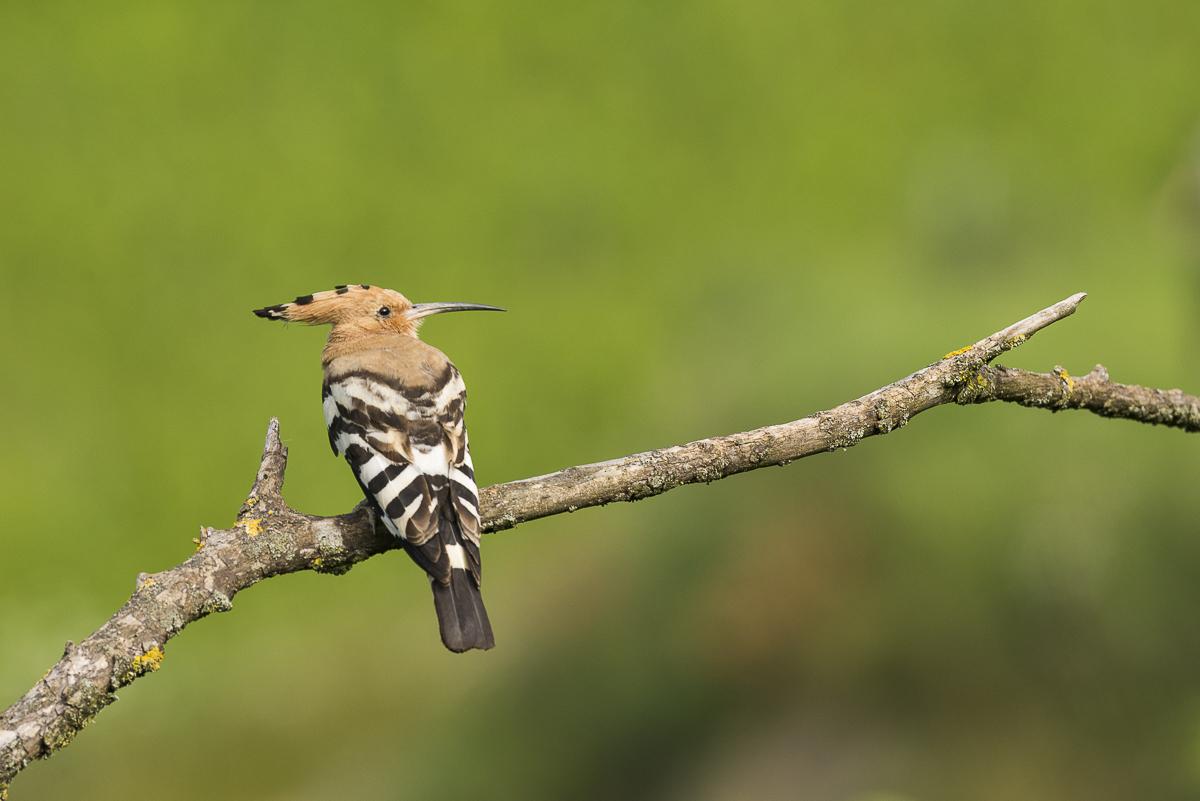 Huppe fasciée au repos sur une branche