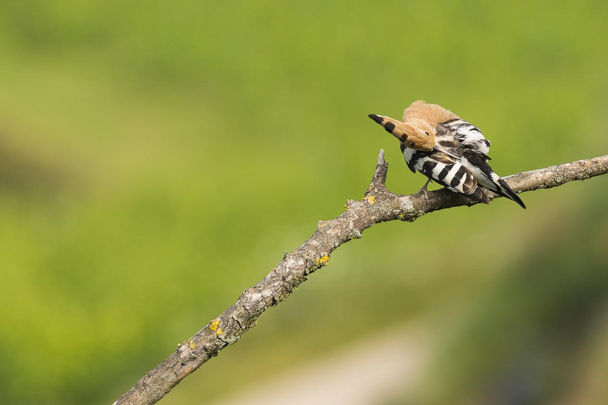 Huppe fasciée nettoie son plumage avec son bec