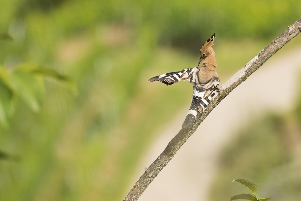 Huppe fasciée se nettoie les ailes avec son bec