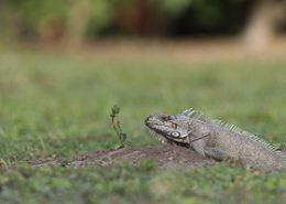 Iguane vert sort de son terrier