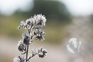 Octobre 2016 Plante sèche et son halo