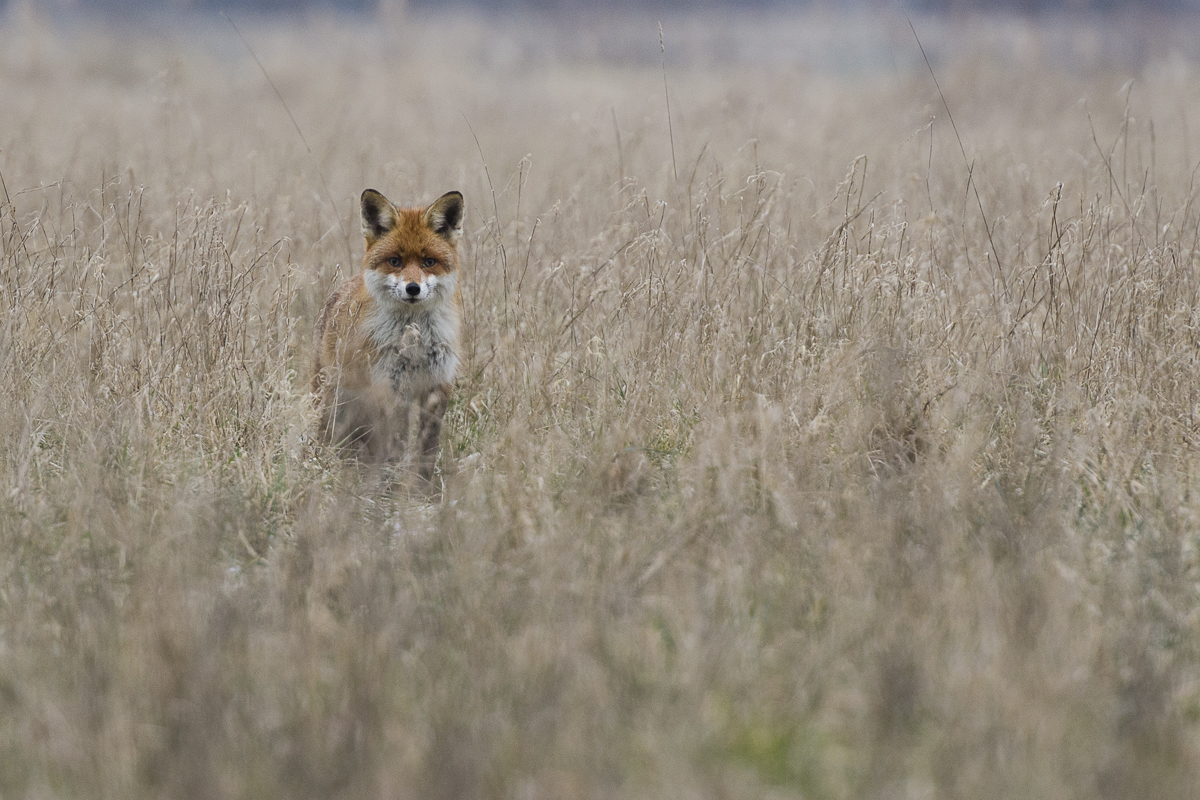 Renard roux me fixe dans un champ au lever du jour