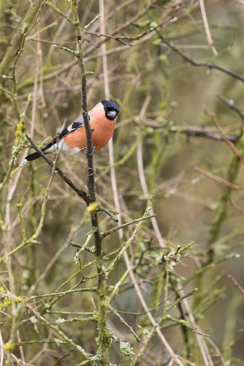 Bouvreuil pivoine au repos sur une branche. Mes images