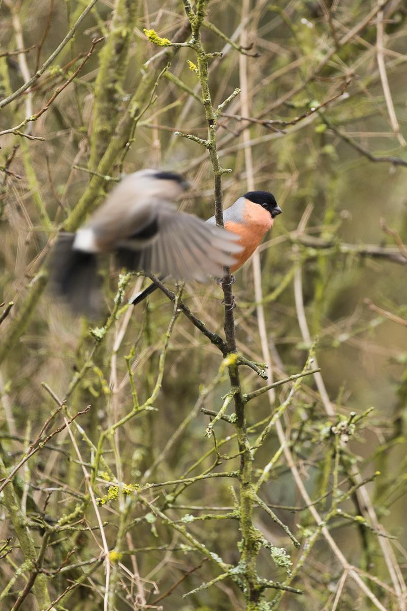 Bouvreuil pivoine mâle sur une branche. La femelle passe en vol devant