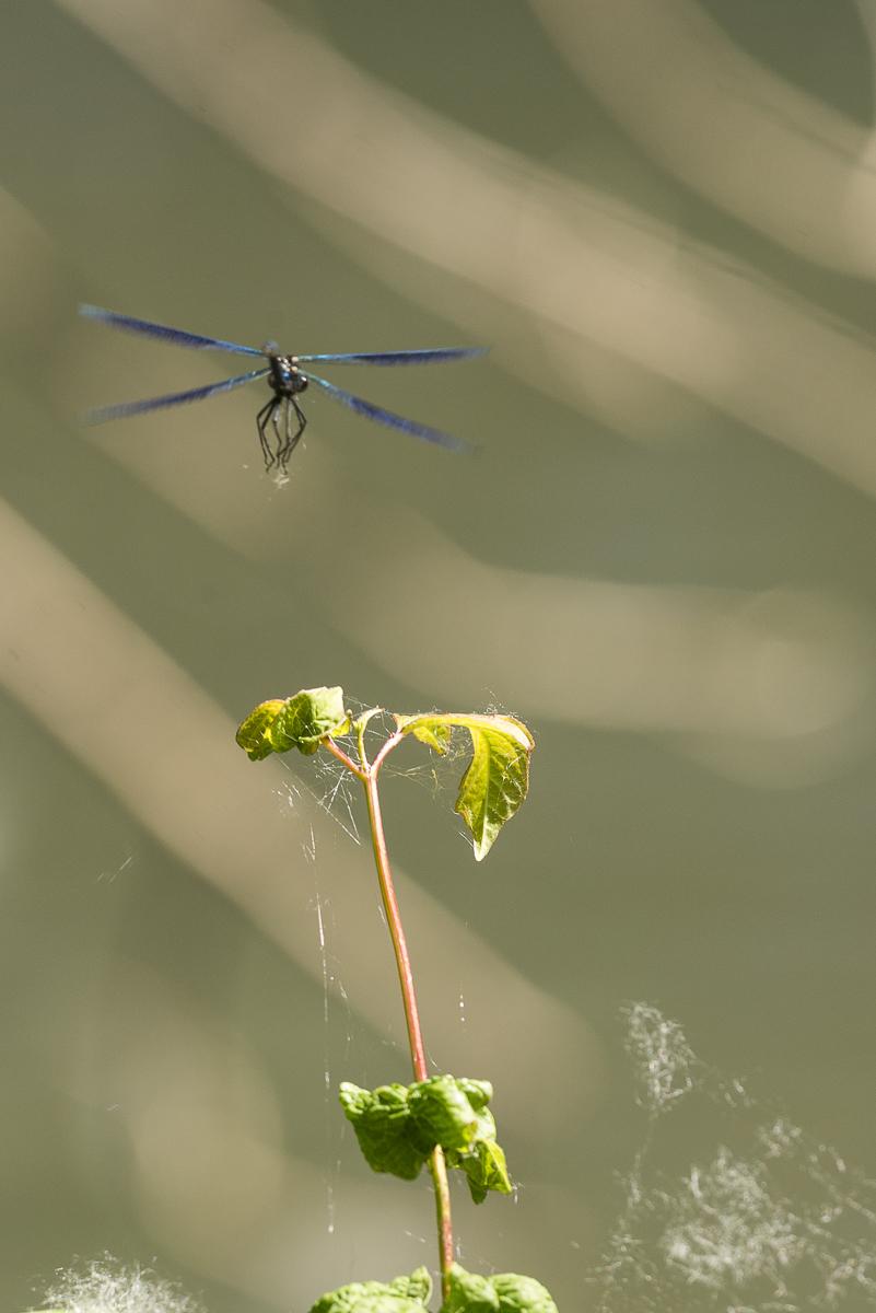 Caloptéryx vierge en vol à l'approche d'une branche avant l'atterrissage