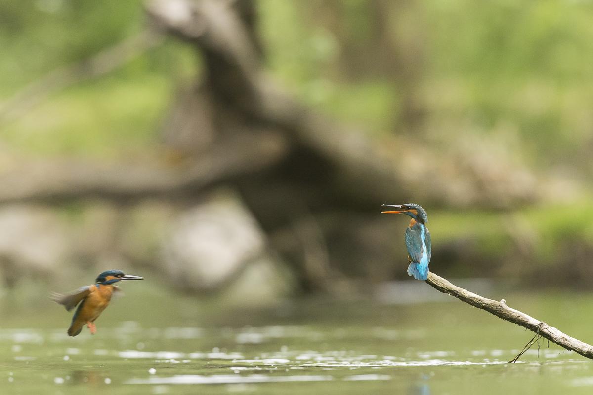 Martin pêcheur le mâle en vol rejoint la femelle au repos sur une branche à la surface de l'eau