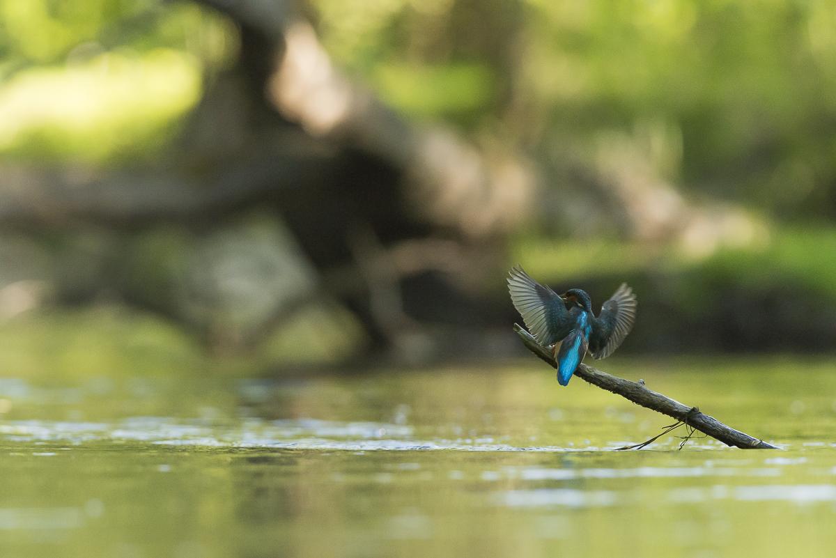 Martin pêcheur se pose sur une branche partiellement immergée