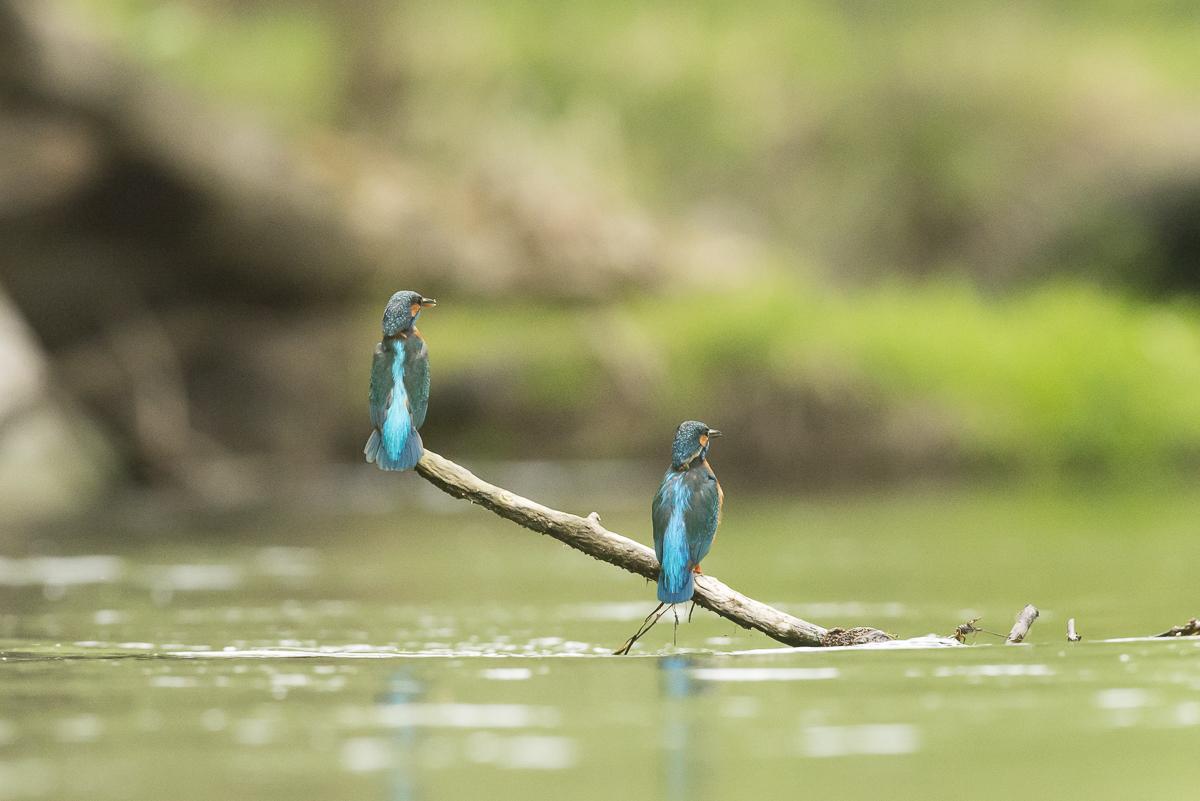 Martin pêcheur couple de dos posé sur une branche immergée