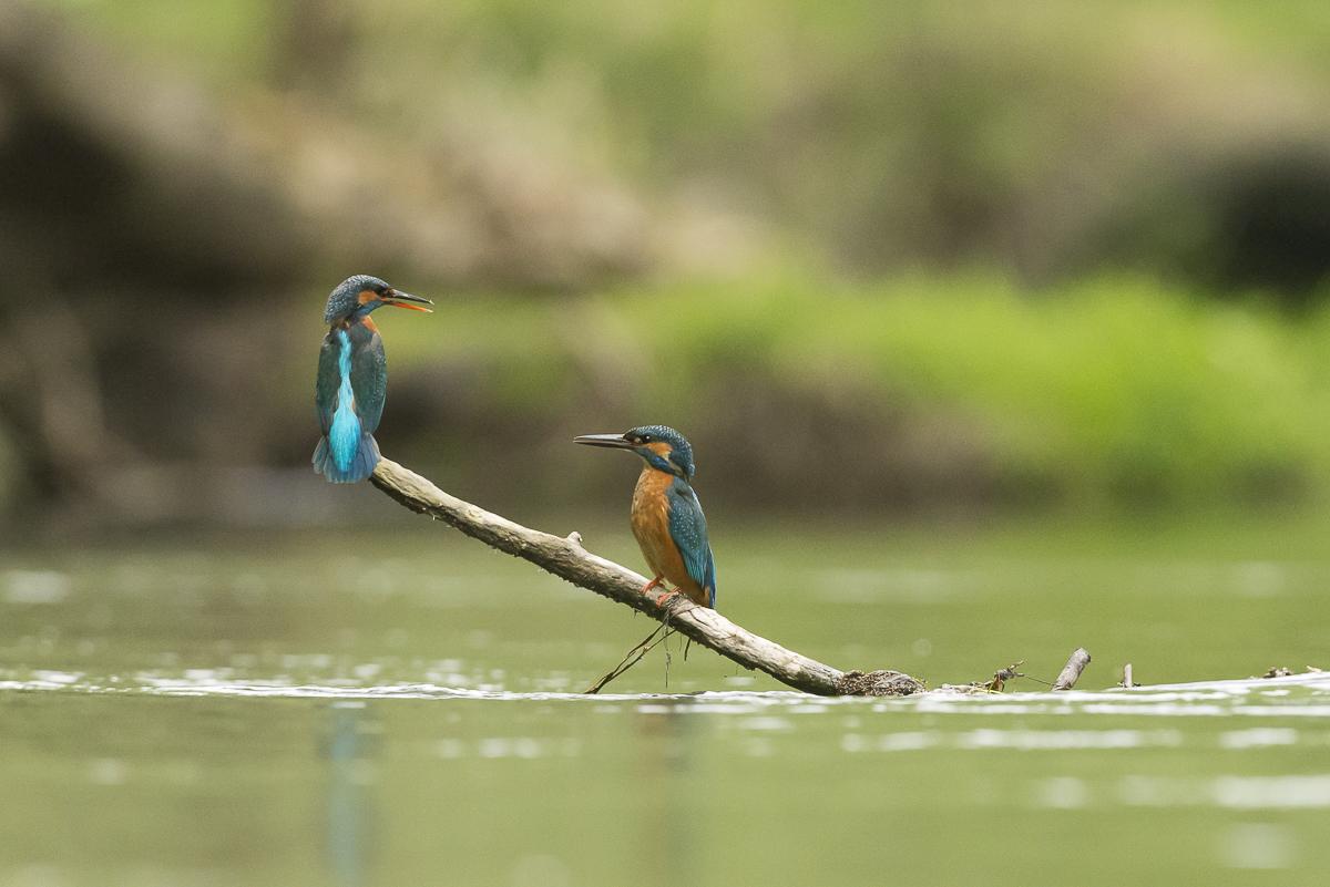 Martin pêcheur couple se faisant face sur une branche immergée