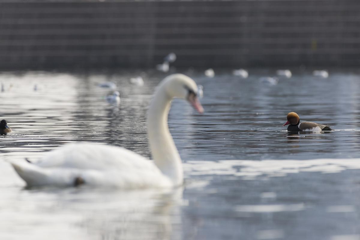 Nette rousse sur une plan d'eau urbain parmi canards et cygnes