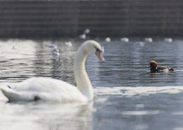 Nette rousse sur un plan d'eau urbain au milieu des autres canards et cygnes