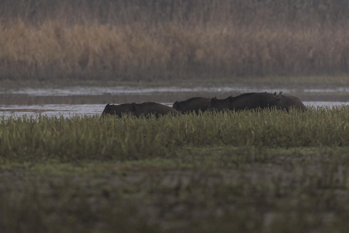 Sanglier , un groupe d'individus s'apprête à traverser un bras d'eau