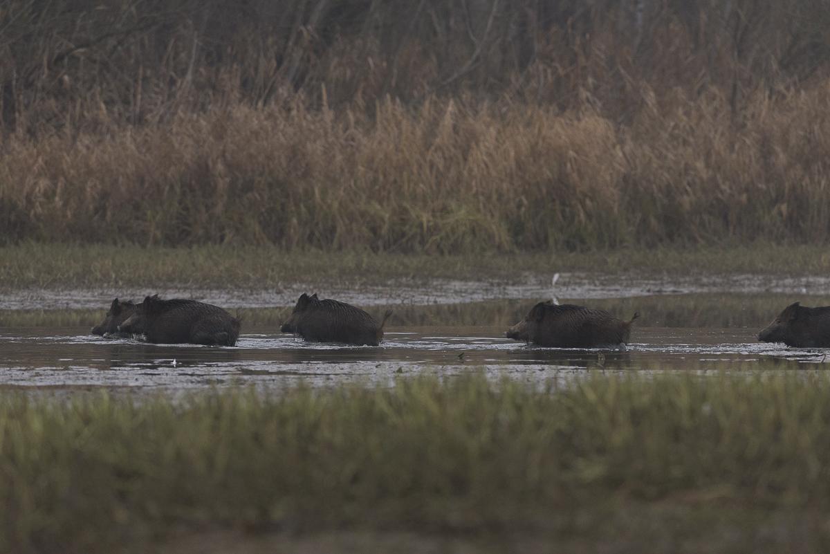 Sanglier , un groupe d'individus traverse un bras d'eau