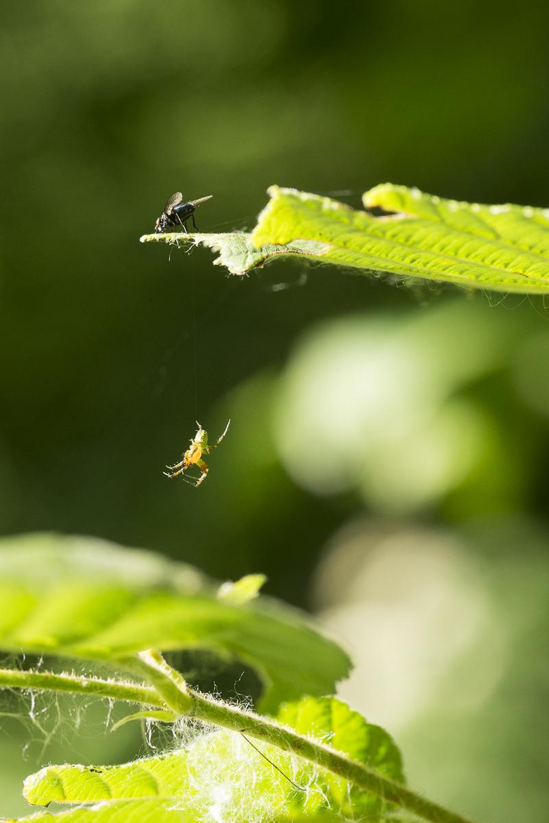 Une mouche posée sur une feuille semble observer une araignée suspendue dessous