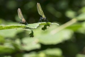 Insectes mollusques Caloptéryx éclatant deux individus à l'affût sur une feuille