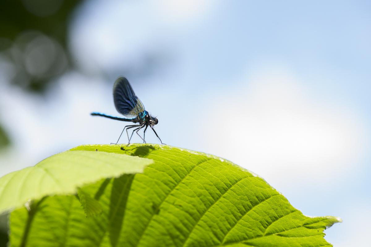 Caloptéryx vierge posé sur une feuille verte avec un ciel bleu en fond
