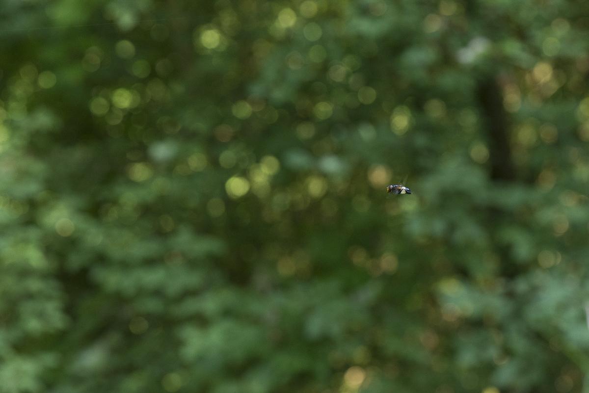 Insectes mollusques Volucelle transparente en vol