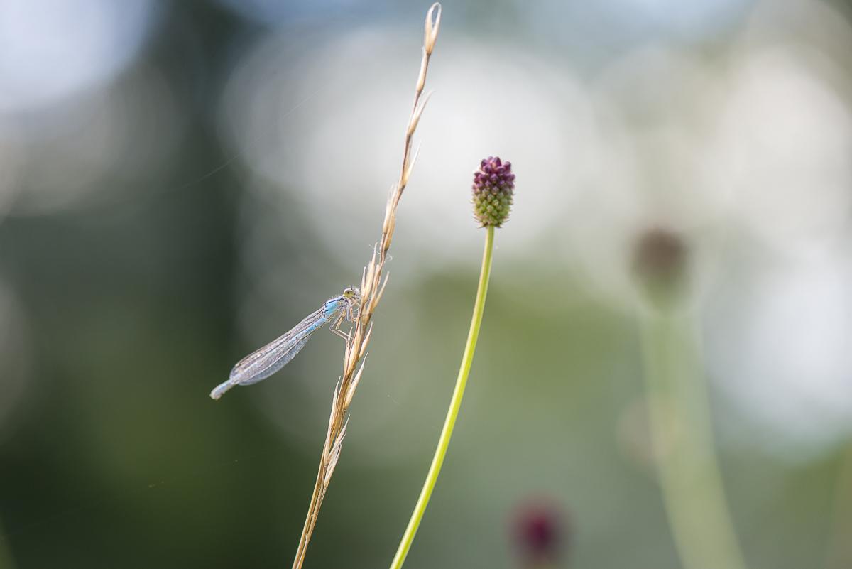 Agrion à larges pattes posé sur un brin d'herbe