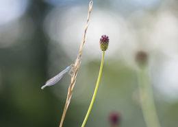 Decembre 2017 Agrion à larges pattes posé sur une herbe
