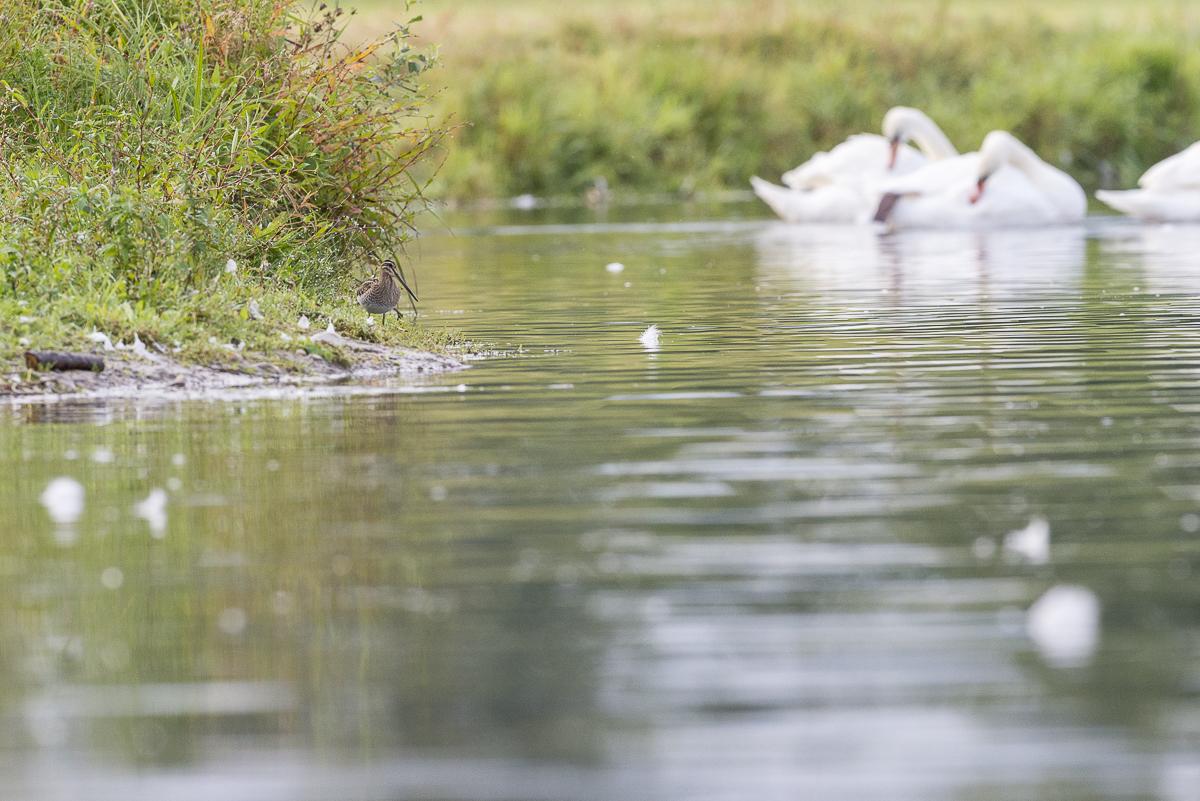 Becassine des marais au bord d'un cours d'eau