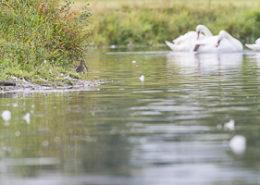 Becassine des marais au bord de l'eau