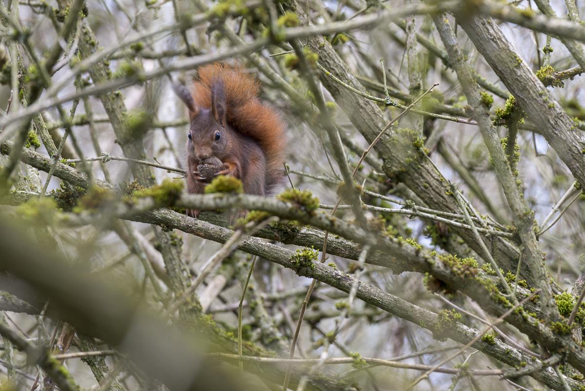 Ecureuil roux mange une noix