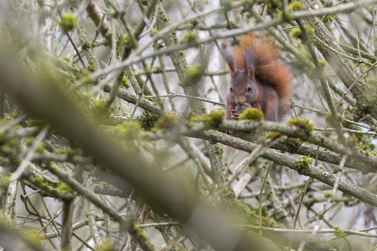 Ecureuil roux mangeant une noix
