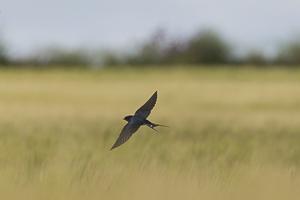 Juillet 2017 Hirondelle rustique en vol au dessus d'un champ de blé