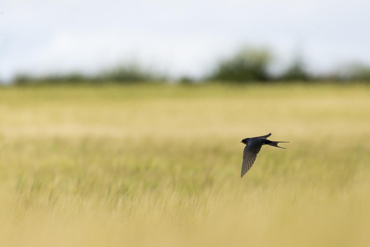 Hirondelle rustique en vol au dessus d'un chant de céréales